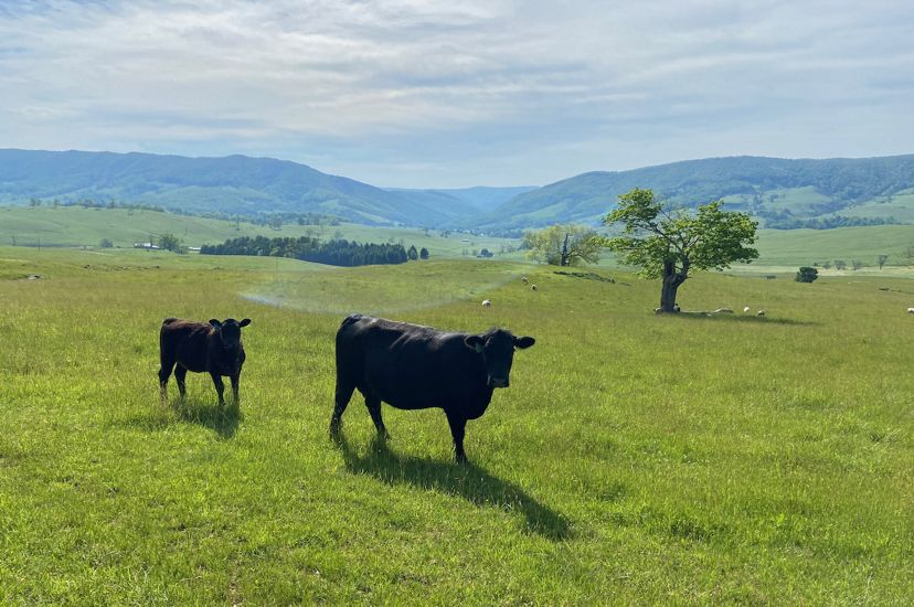 Two black cows stands in a green open field. A blue tinged mountain ridge sits on the horizon in the background.