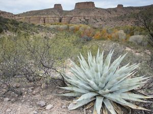 A pale green aloe plant with pointed succulent leaves grows in a desert canyon with flat top mountains in the background.