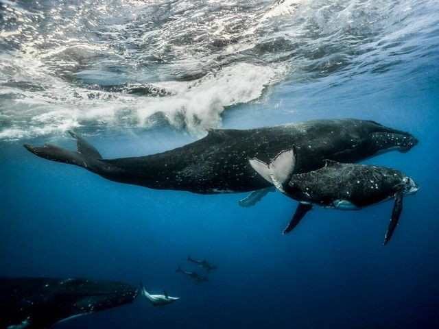 Humpback whale and calf swimming in the ocean.
