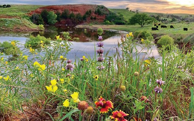 Close up of native Oklahoma wildflowers on the edge of a reflecting pond at the Lazy KT Cattle Ranch.
