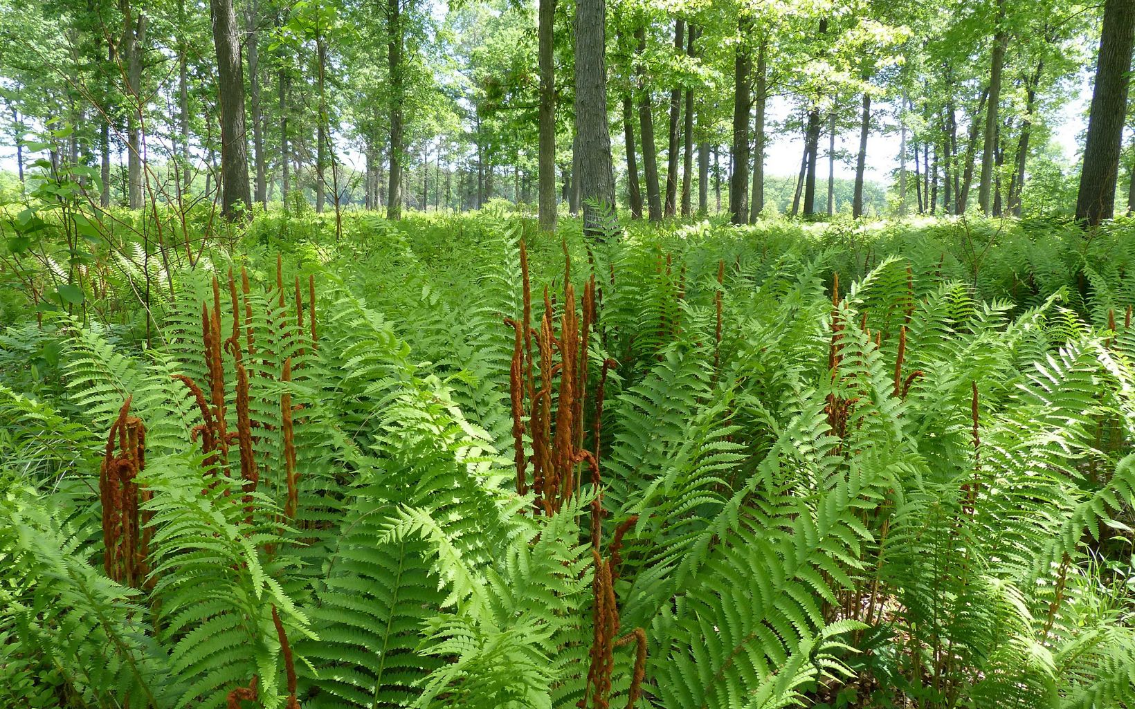 Cinnamon Ferns among the oak savanna.