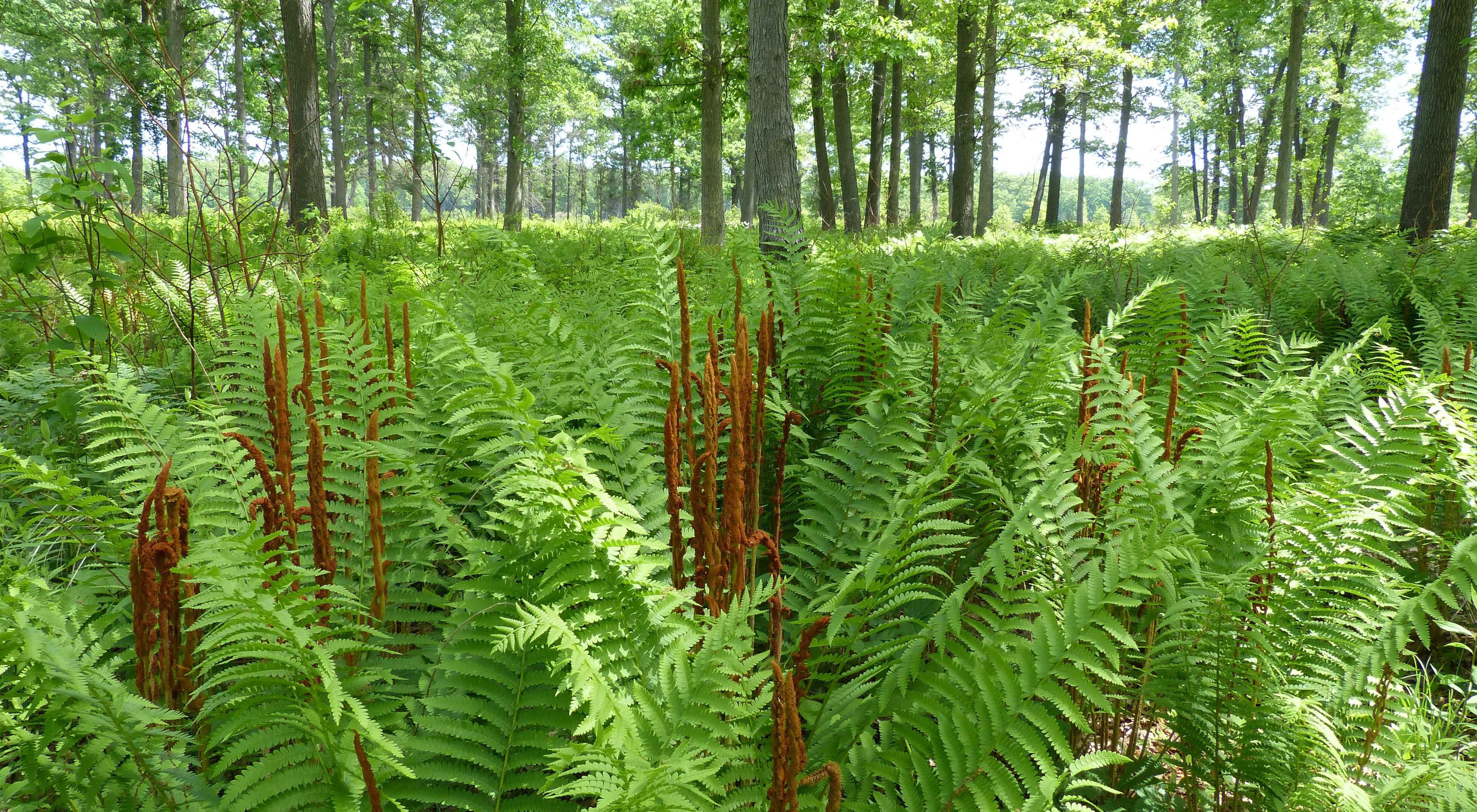 Looking through a sun kissed forest of tall trees, the forest floor covered with lush ferns, cinnamon colored spikes jutting up from the green foliage.