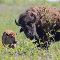 Mother bison and calf roam a green prairie.