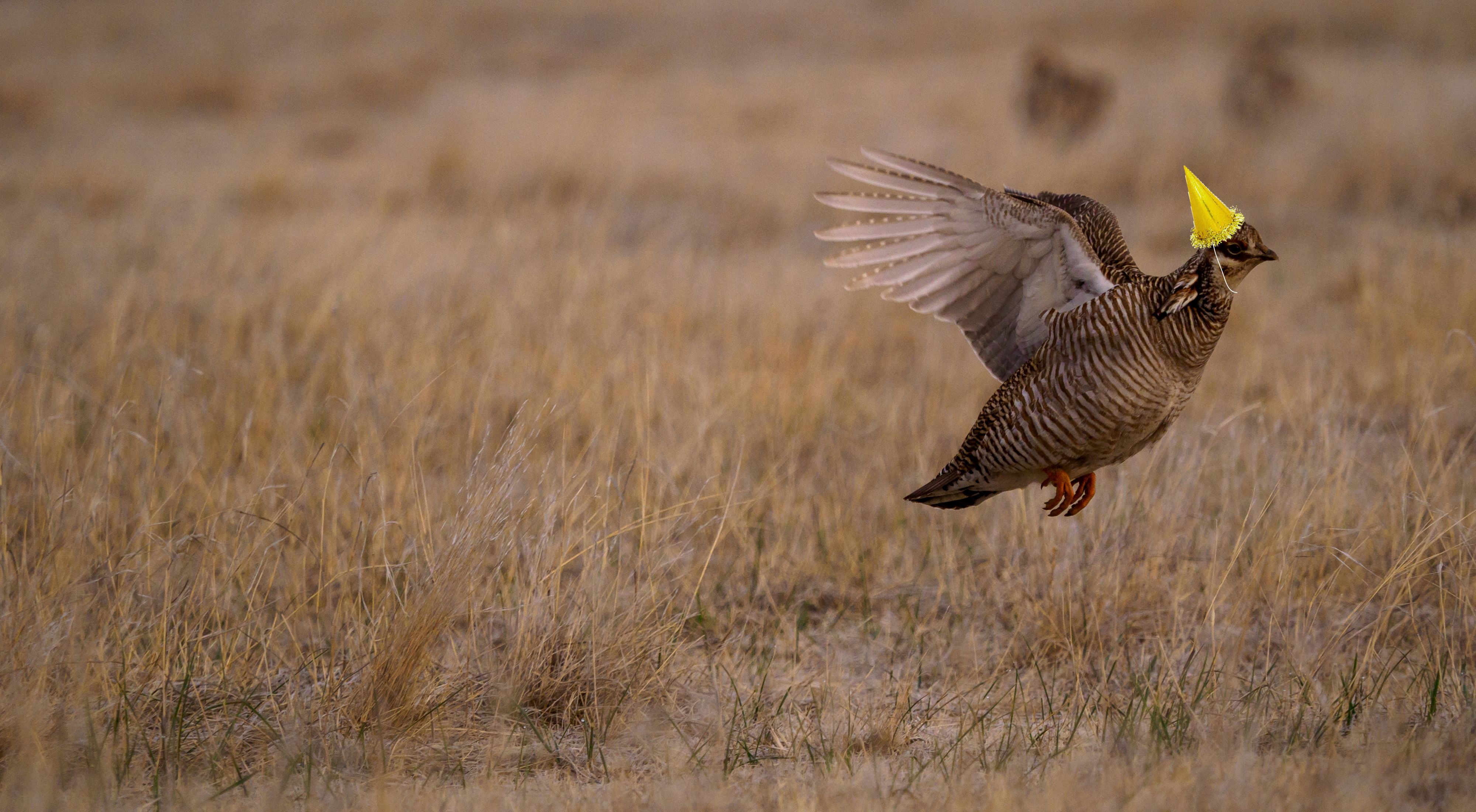 Lesser prairie-chicken in flight with a party hat drawn on its head.