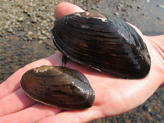 A hand holds two black mussels.
