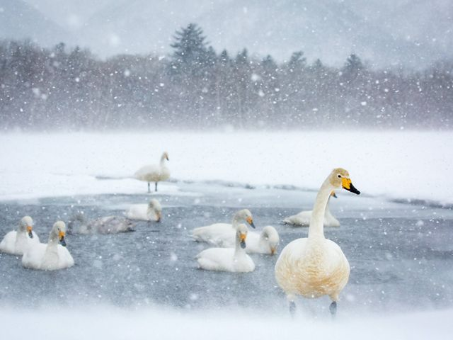 Whooper swans find a small section of water on a frozen lake in Hokkaido, Japan. This photo was entered into The Nature Conservancy's 2018 Photo Contest.