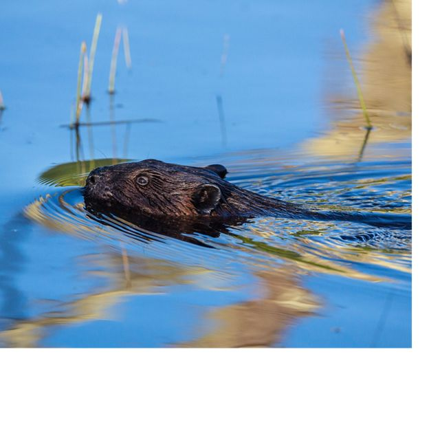 (Castor canadensis). Damming of streams and rivers by millions of beavers in the Chesapeake Bay region once contributed to brackish conditions more favorable to oysters.