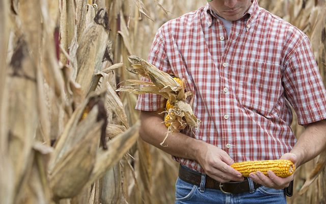 A person in a plaid shirt holds a corn cob in their hands and three corn cobs under their arm while standing among dried out corn plants.