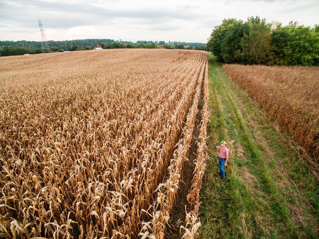 A farmer stands next to a rows of tall corn stalks.