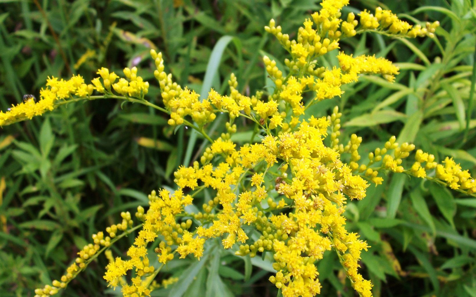 Small yellow flowers fill up a plant stem.