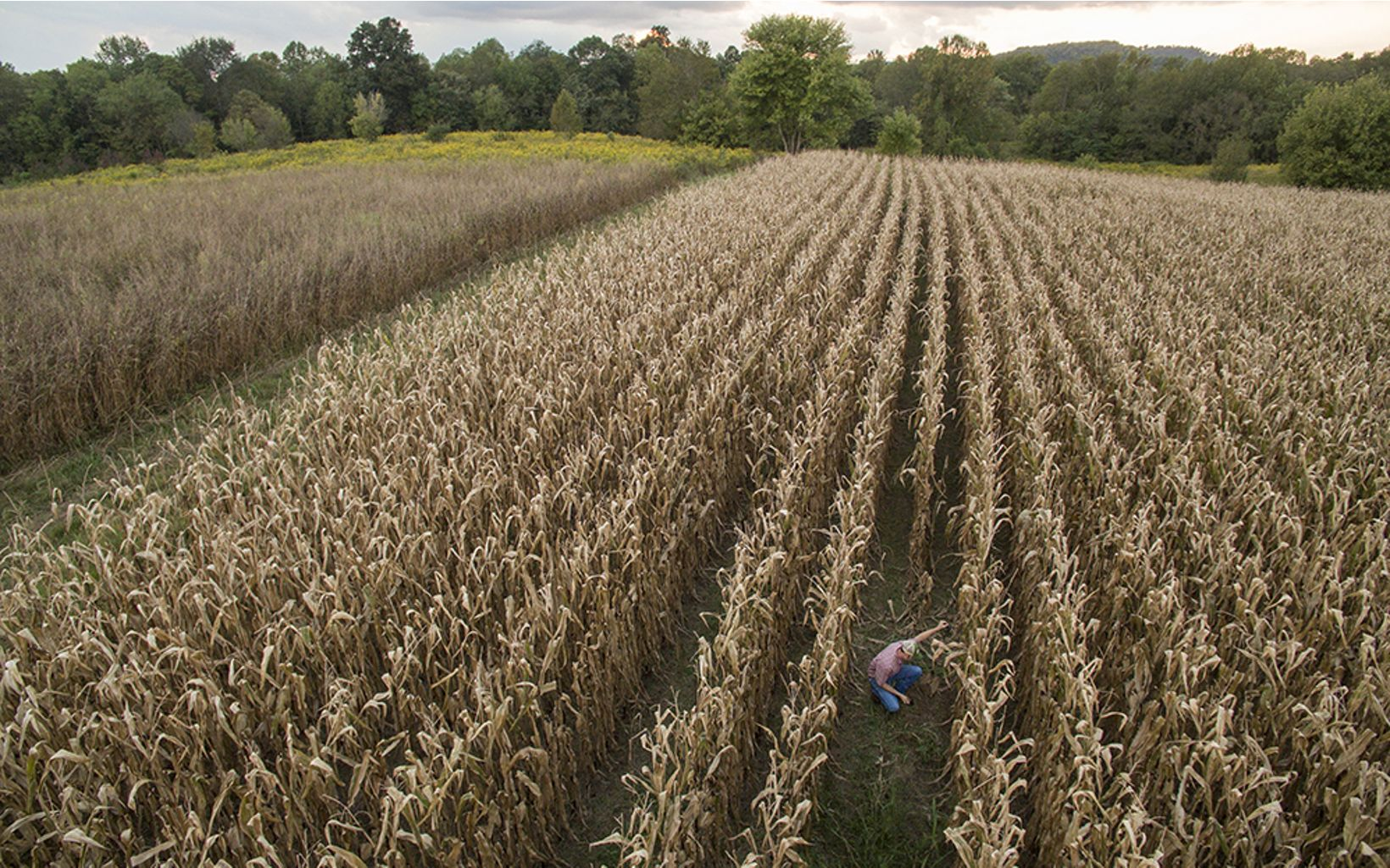 A farmer in the middle of a large corn field.