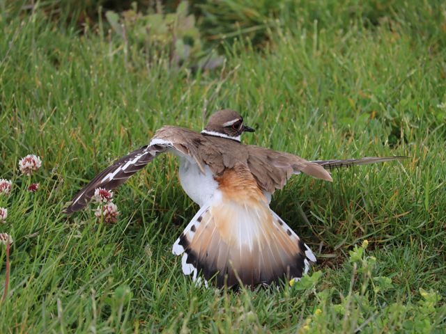 An adult killdeer sitting in the grass with its wings extended and held at an odd angle.