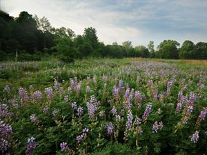 A blooming field of blue lupine in spring.