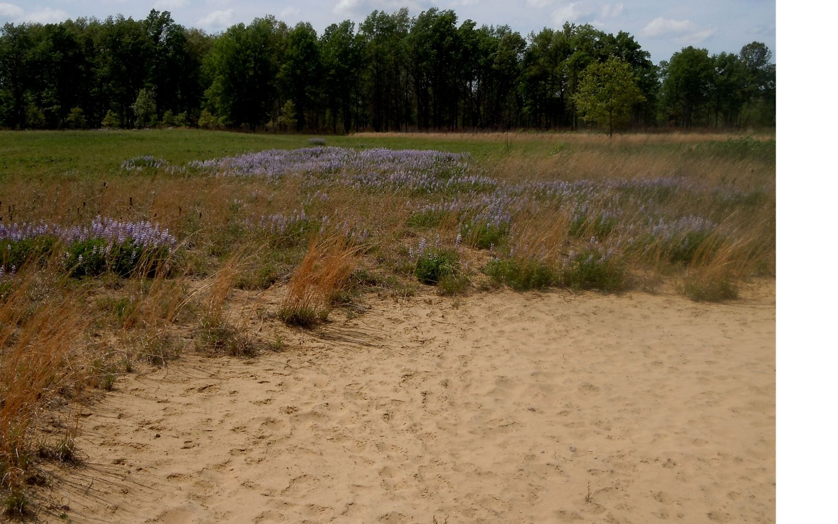 Sandy soils meet prairie where blue lupines bloom.