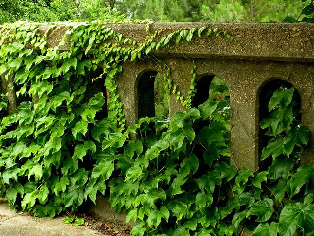 invasive kudzu vine surrounds and takes over stone bridge railing