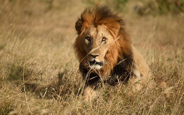 A lion looks up from his freshly caught wild prey.