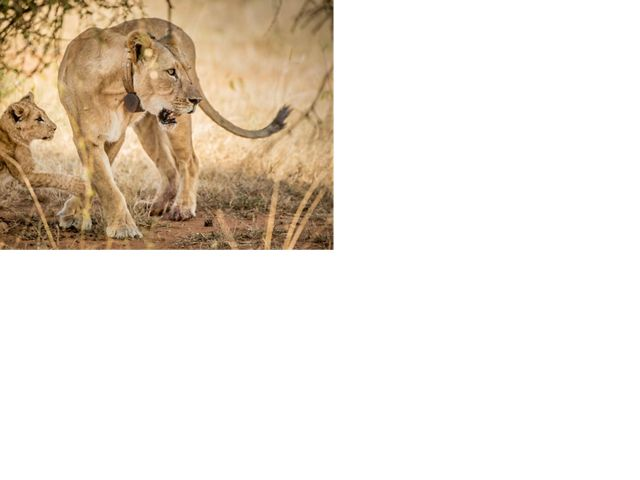 Narok, a collared lioness, and her young cub rest in the shrubby grasslands.
