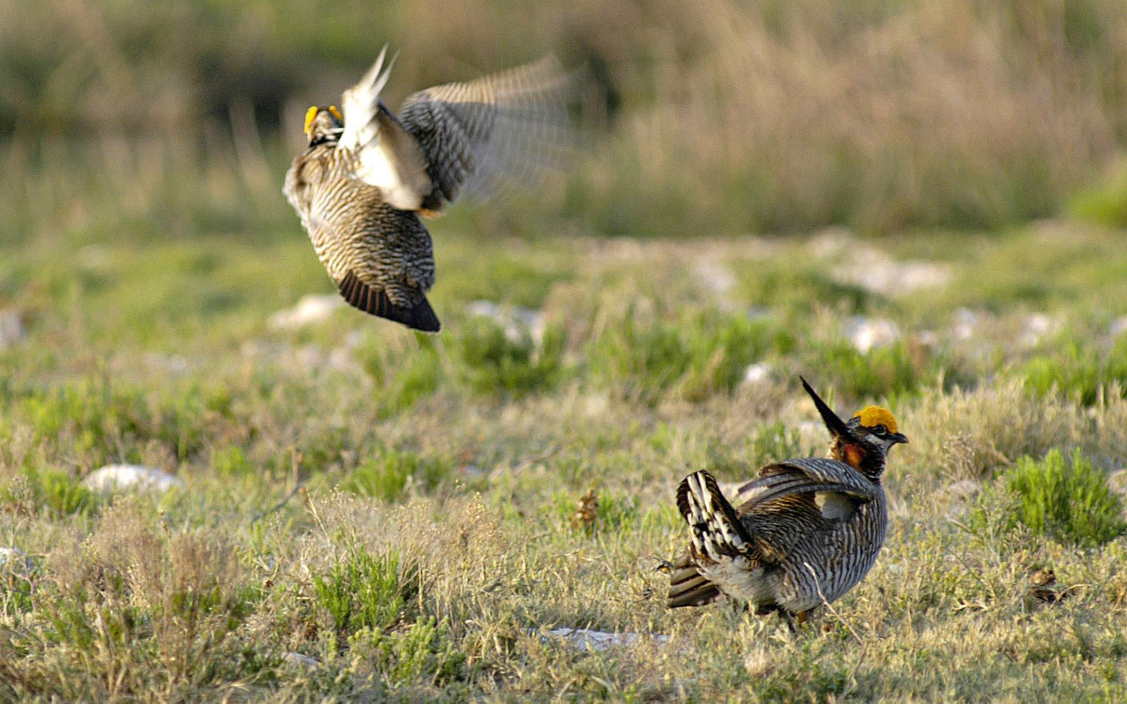 Closeup of Lesser Prairie Chickens interacting