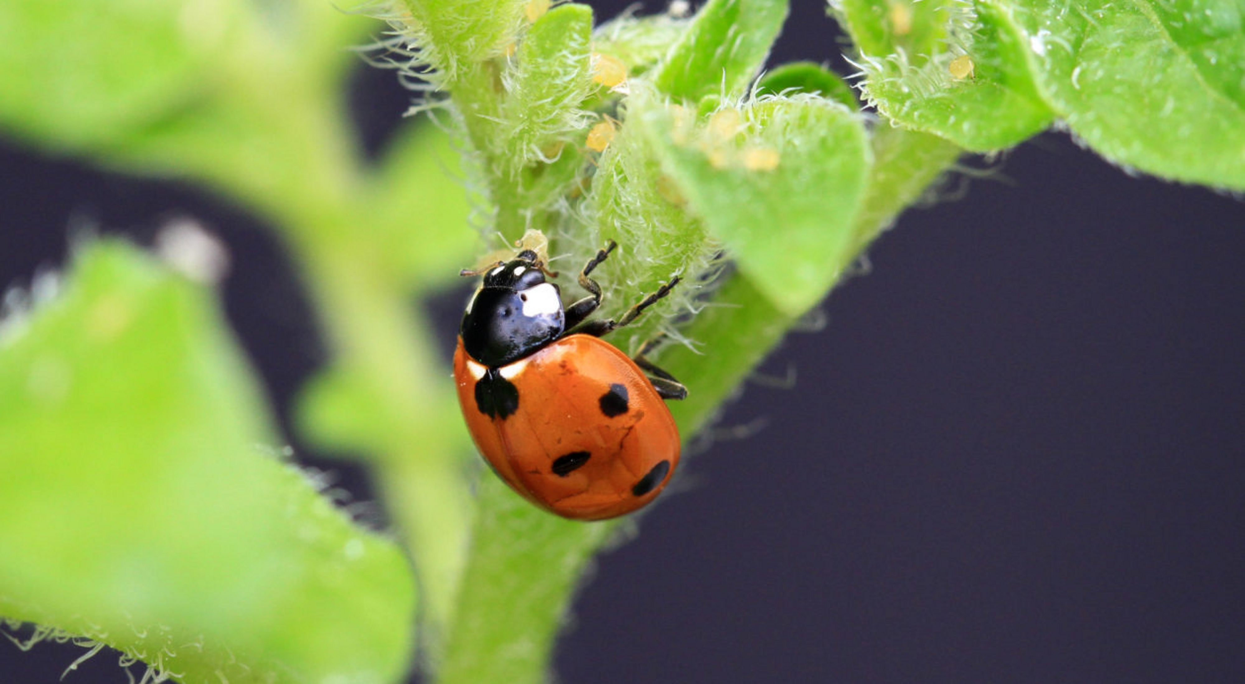 A ladybird predating on aphids on a potato plant.