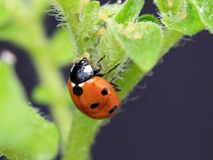 A ladybird predates on aphids on a potato plant.