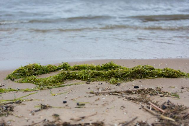 Green algae on sandy shore.