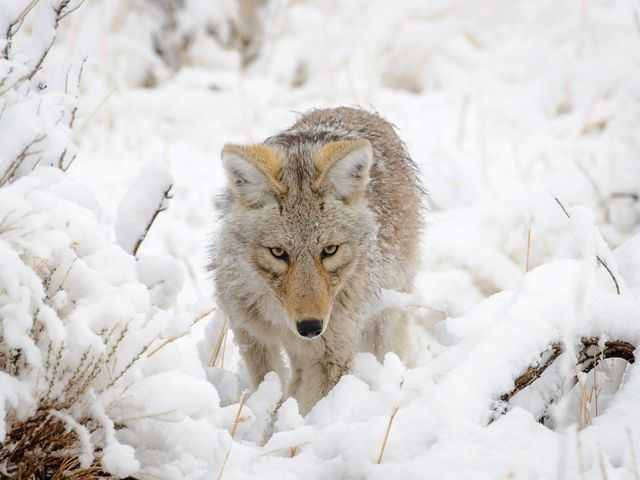 Coyote in Yellowstone National Park