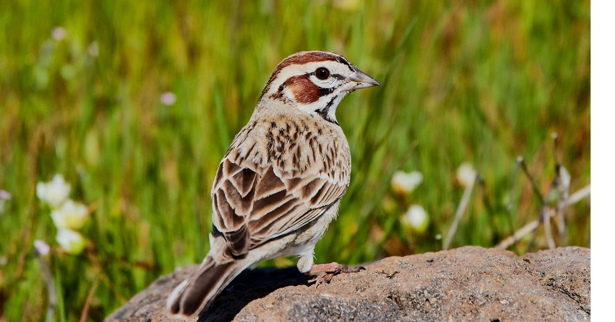 Lark Sparrow sitting atop a rock in a prairie.
