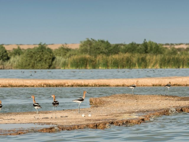 Hundreds of species of birds, including these American avocets, have been found in the Las Arenitas wetland.
