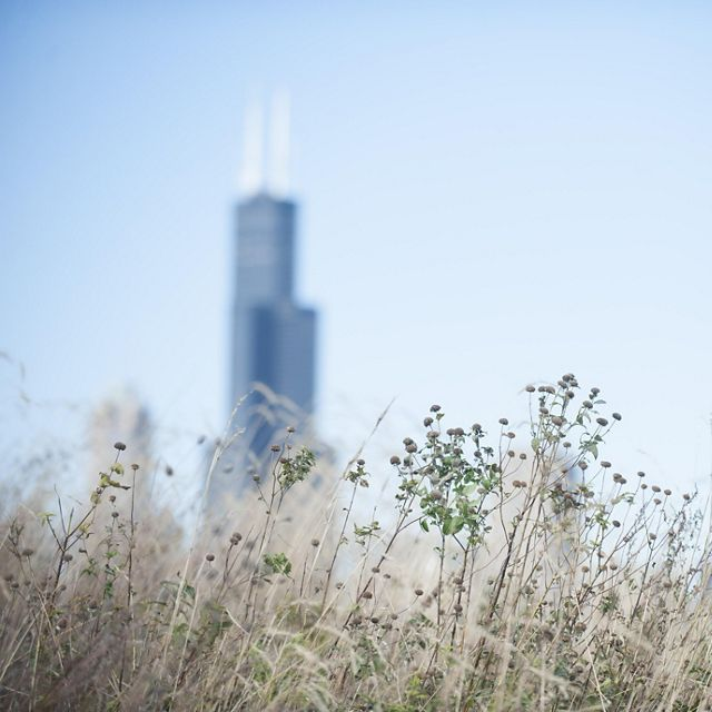 Grasses blow with the John Hancock Building behind.