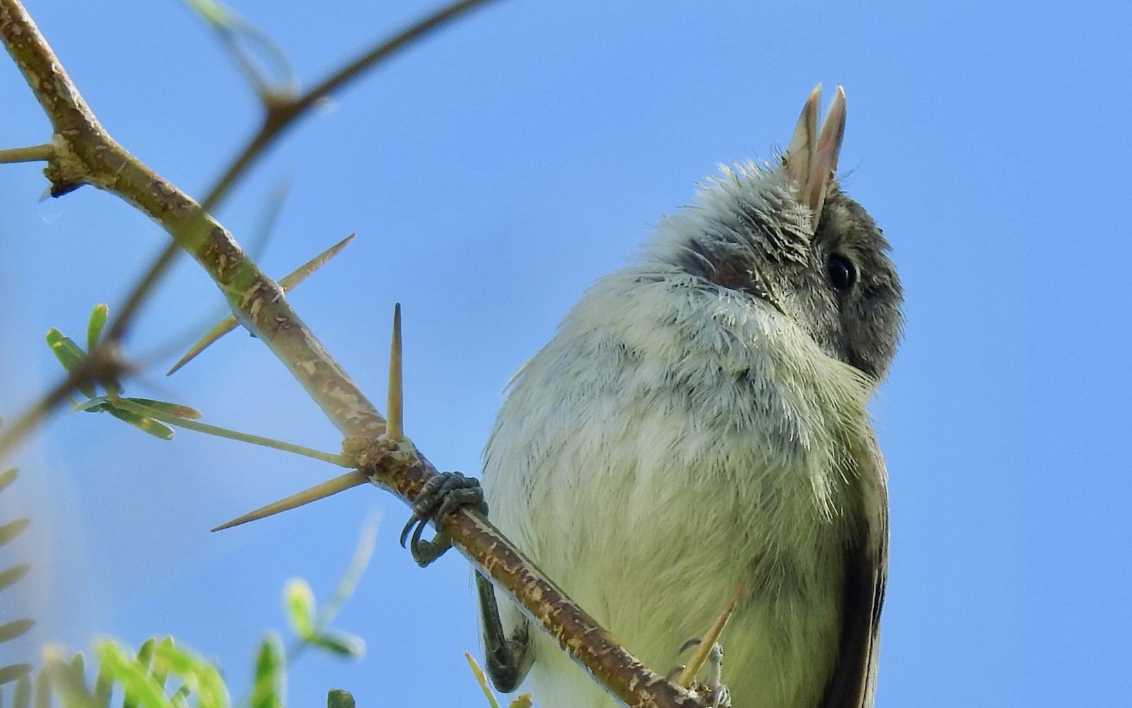 A closeup of a little sparrow-like bird perched on a thorny branch.
