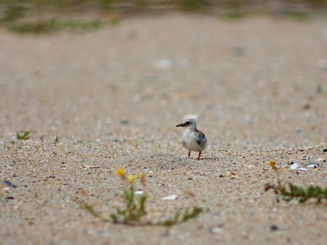 A least tern chick making use of the improved habitat at the South Cape May Meadows Preserve.
