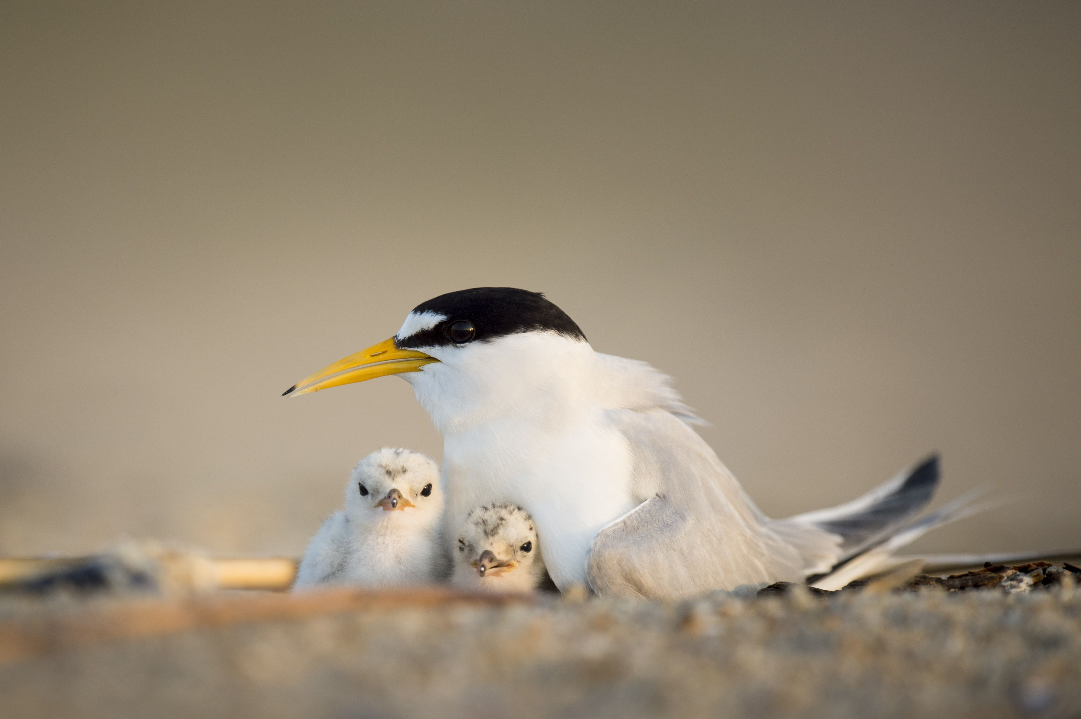 An adult least tern is sitting with its chicks.