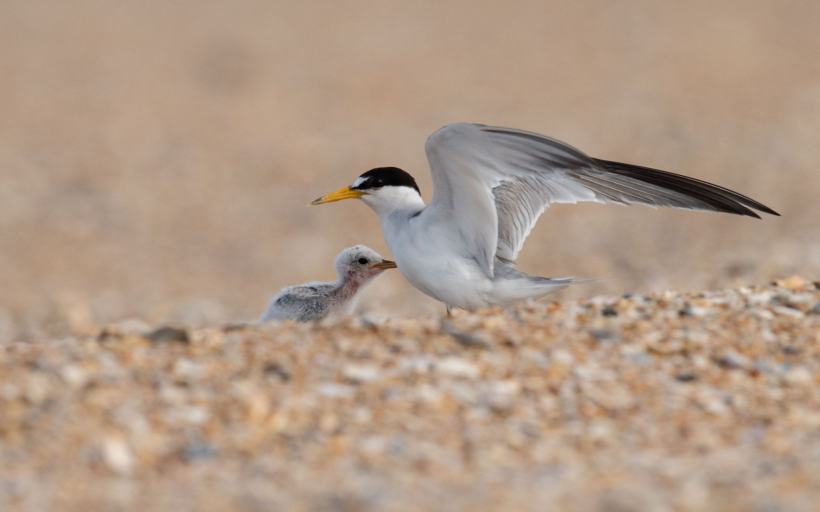 An adult least tern is standing on the beach with its chick.