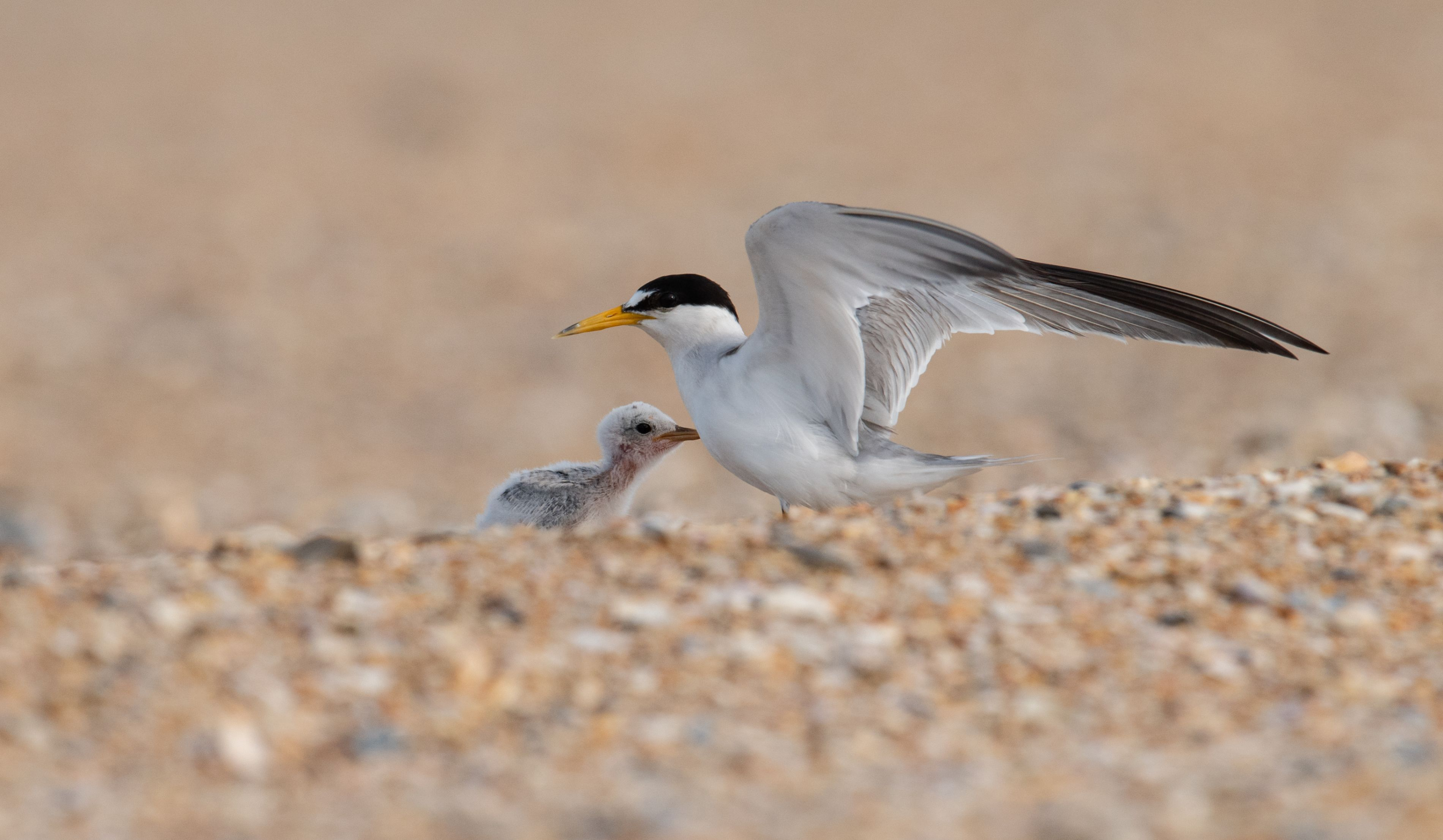 Adults least tern shelters their chick.