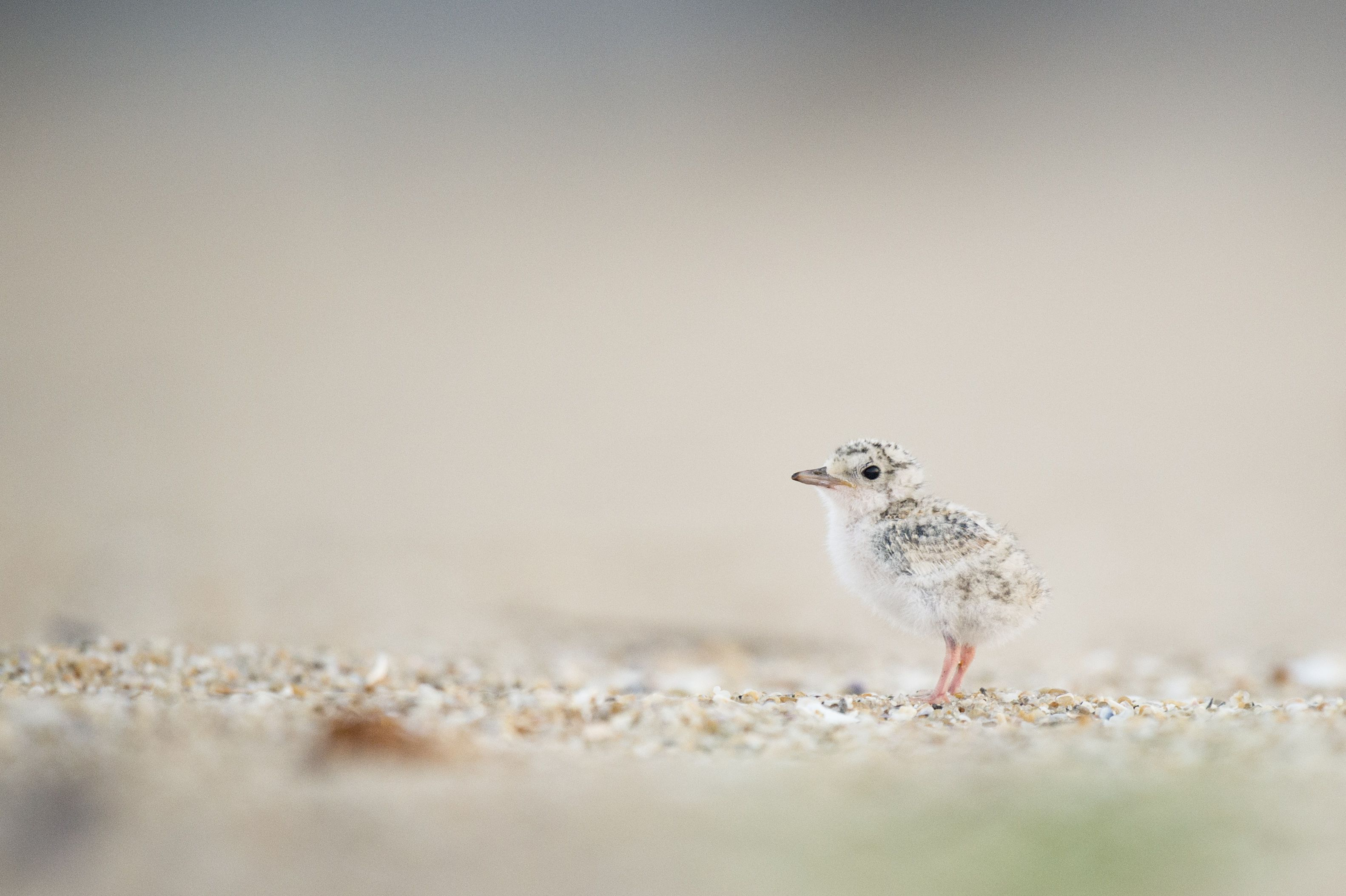 A lone least tern chick is on the beach.