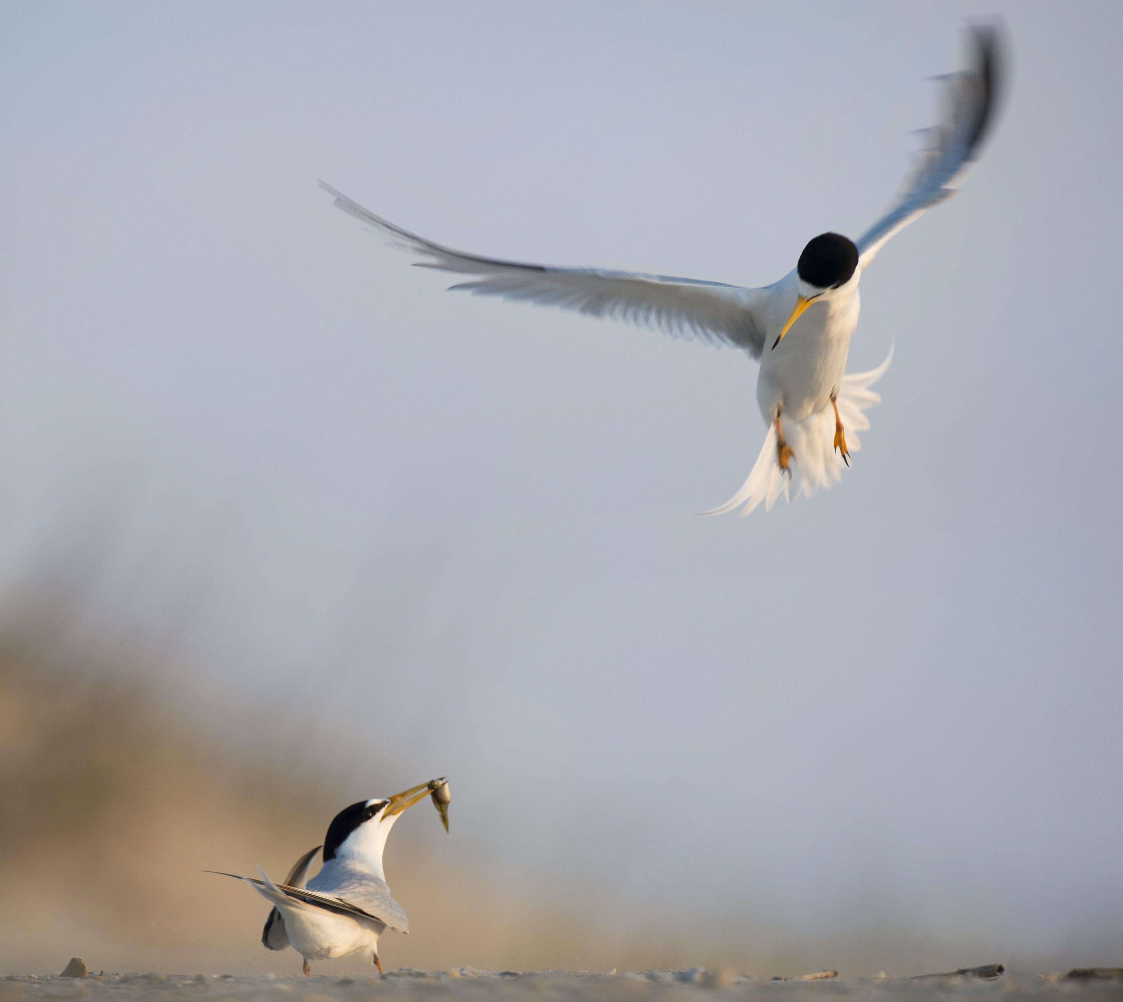 Two adult least terns in courtship ritual.