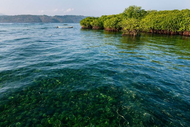 Mangroves on Lembongan Island, approximately 30 miles from Bali.
