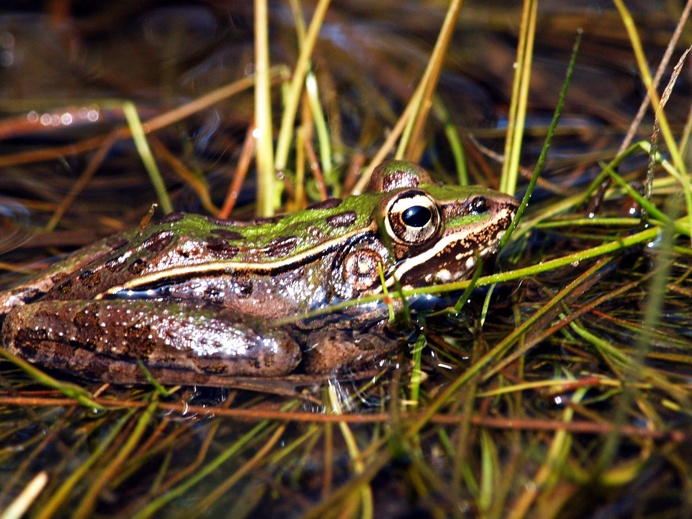 A southern leopard frog is in a grassy wetland.