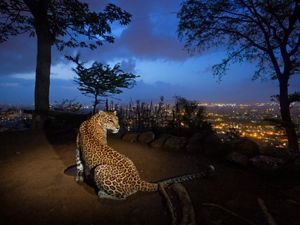 On a hill overlooking Mumbai, a man-made water hole attracts one of an estimated 35 leopards living in and around Sanjay Gandhi National Park, India.