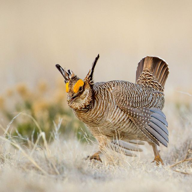 Lesser prairie-chicken facing camera in open field.