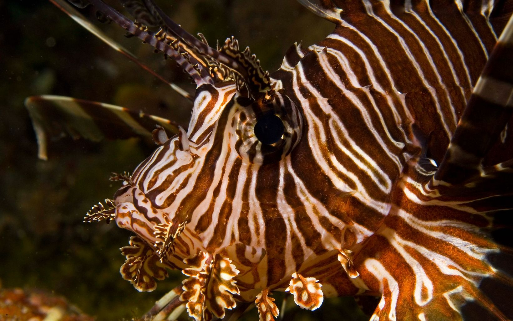 Close up of a brown and white striped lionfish.