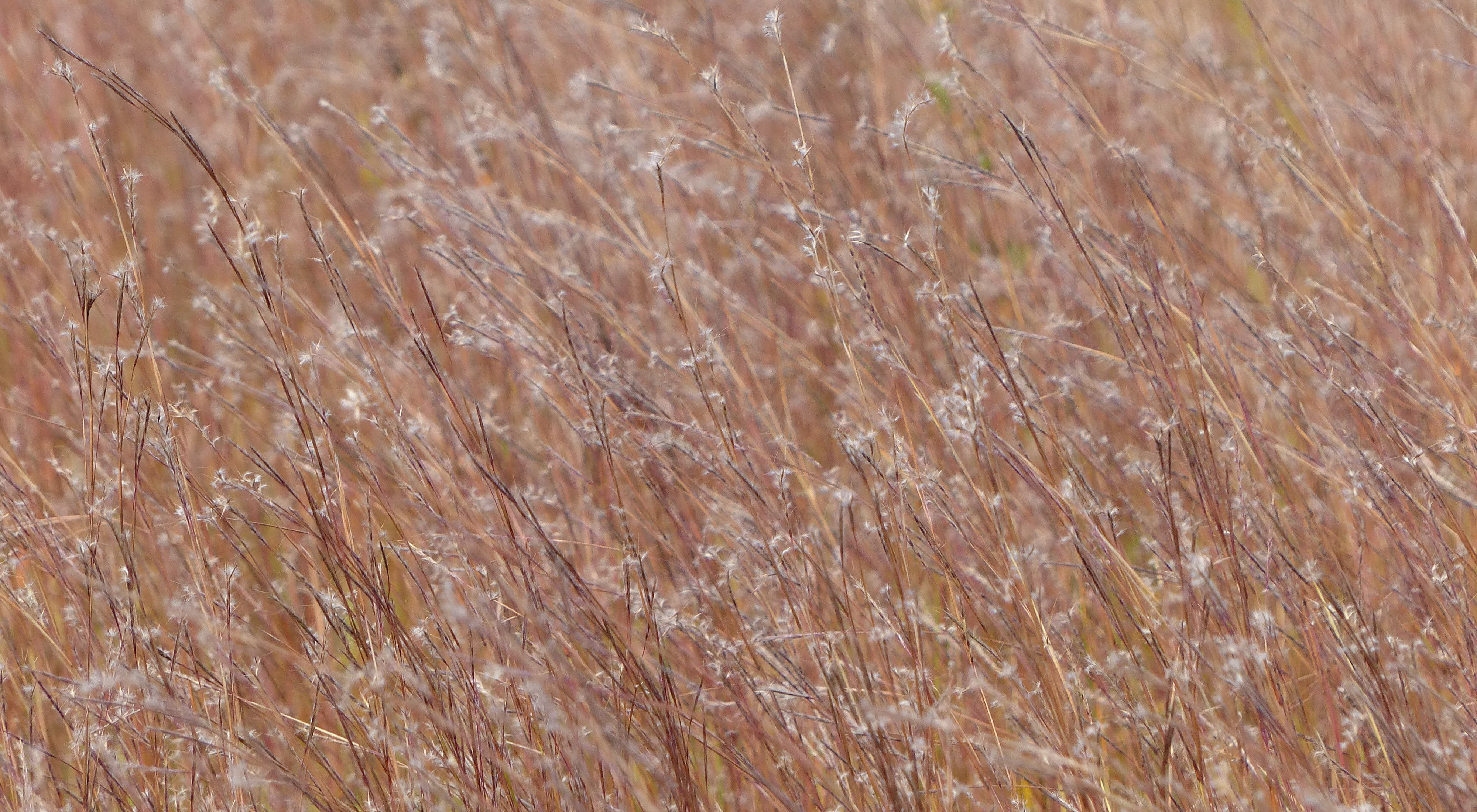 Golden brown grasses hold light brown seedheads in a prairie.