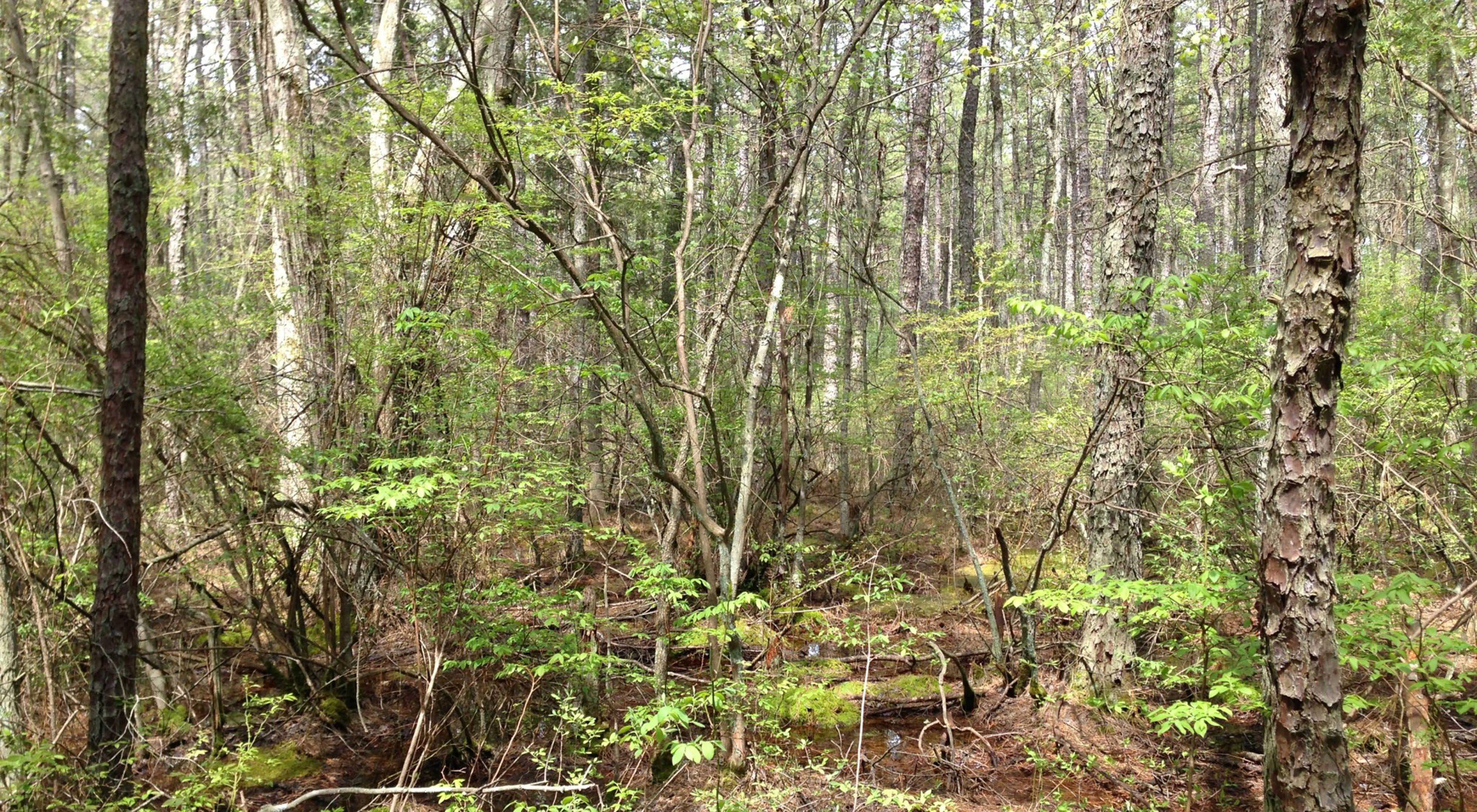 Lizard Tail Swamp Preserve
