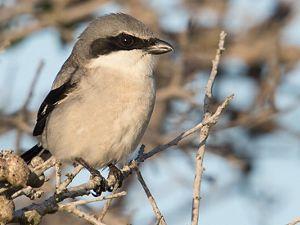 Winter brings a fierce hunter of songbirds to South Dakota.
