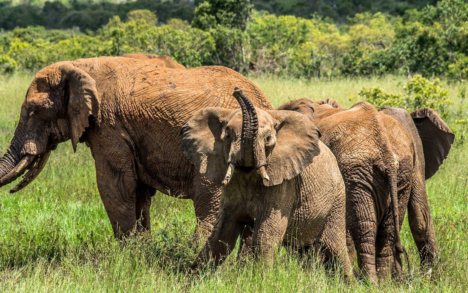 Wild elephants at Loisaba Conservancy in northern Kenya.