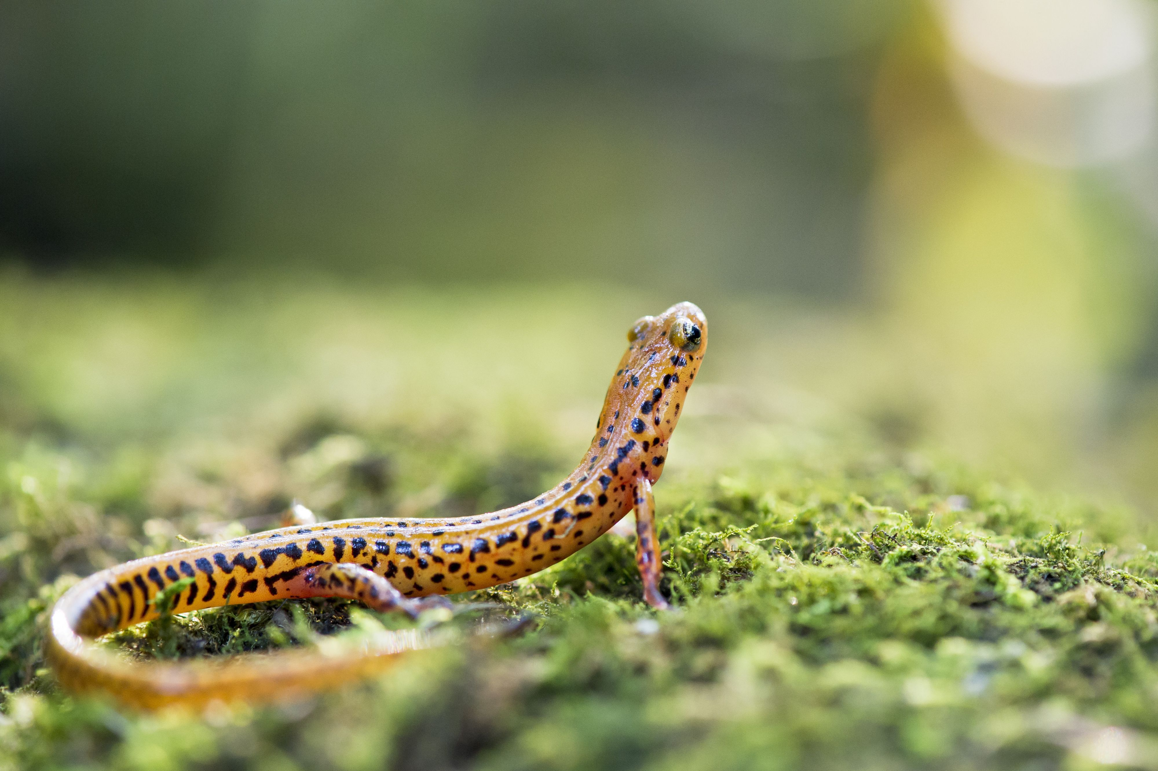 A long-tailed salamander sitting on a mossy rock.