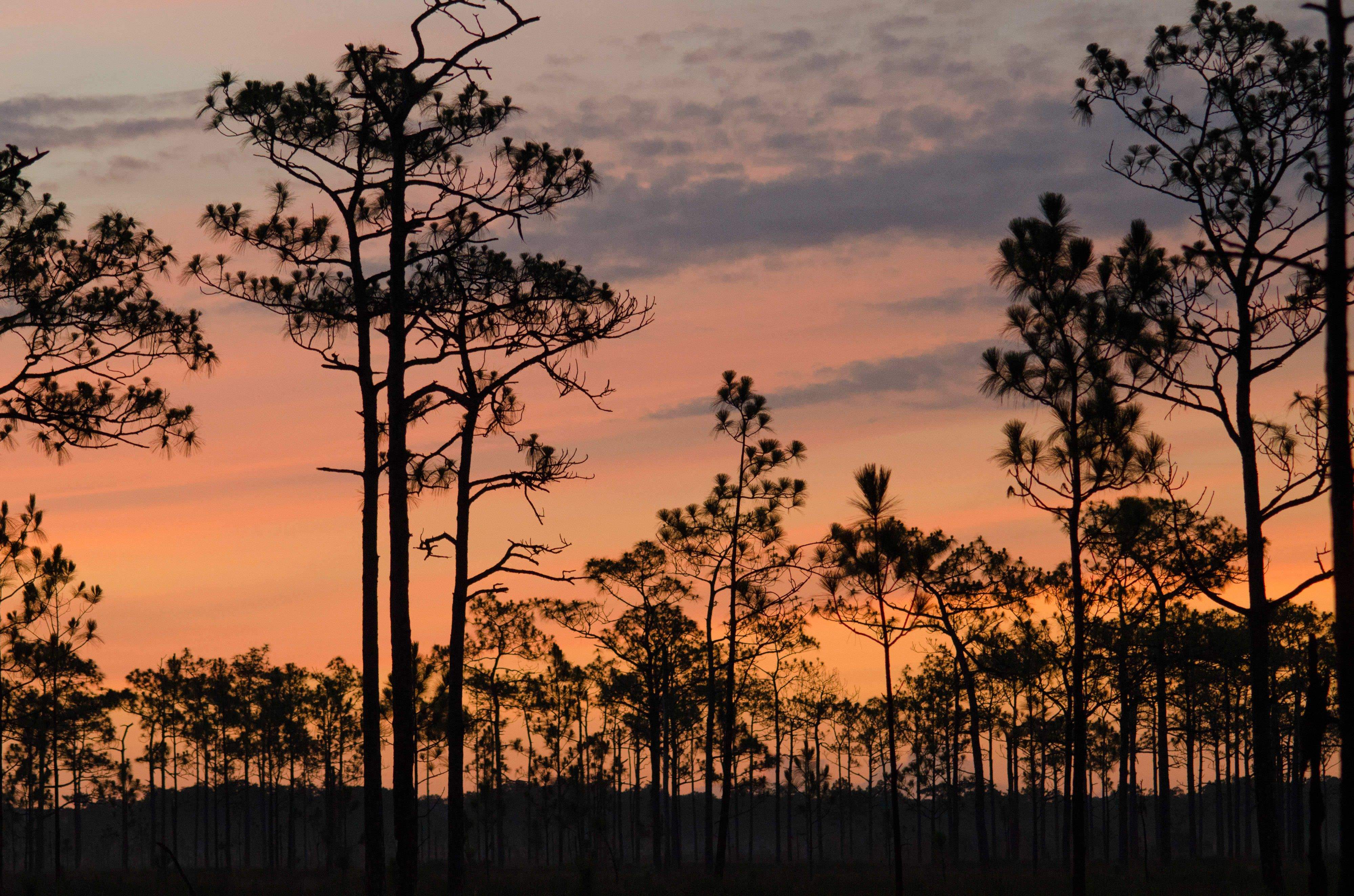 wide view of silhouetted longleaf pines against a colorful sunset