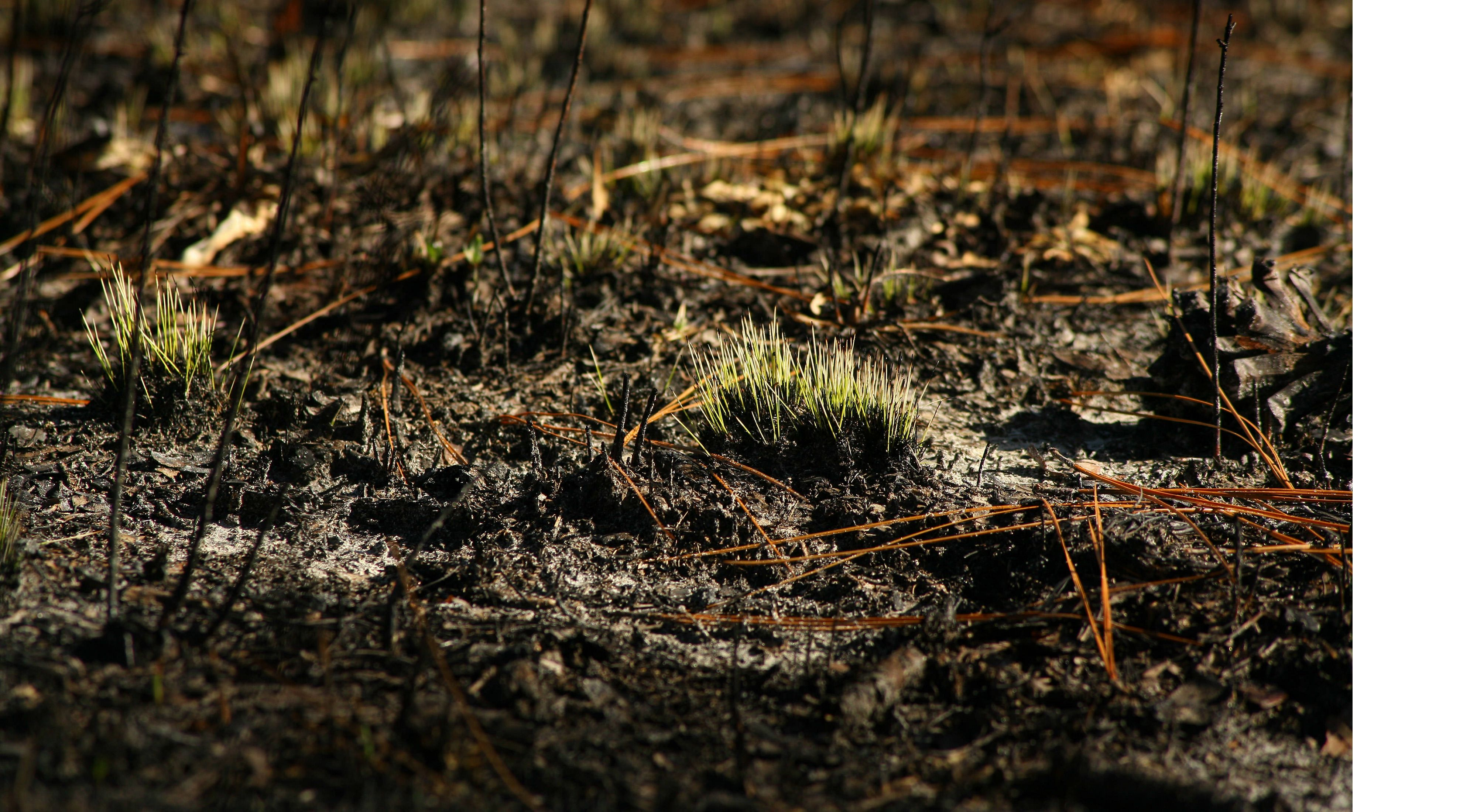 Bright green growth emerges in the longleaf pine forest after a controlled burn.
