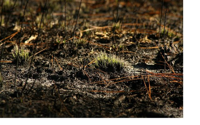 New growth in longleaf pine forest after controlled burn