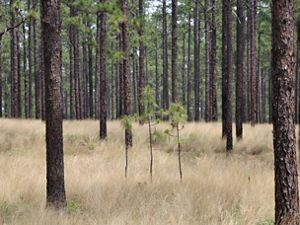 Three young longleaf at Calloway Forest Preserve.